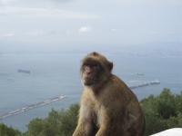 Die einzigen freilebenden Affen in Europa (Gibralta Felsen)