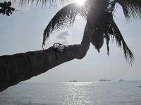 Palme am Strand / Koh Samui