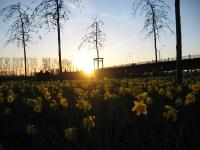 Narzissen Blumen Sonnenuntergang