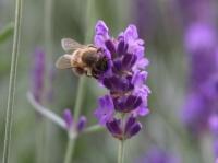 Nahaufnahme Blume mit Biene