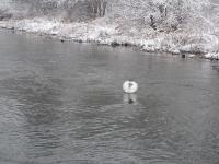 Schwan im kalten Wasser mit Otter