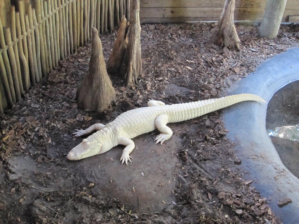 Albino Aligator in St. Augustine